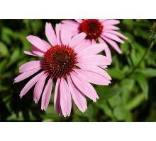 AWA herbs Echinacea kvet 100g