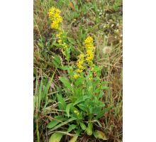 AWA herbs zlatobyľ Celík vňať 100g