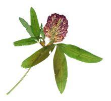 AWA herbs Ďatelina lúčna červený kvet 30g